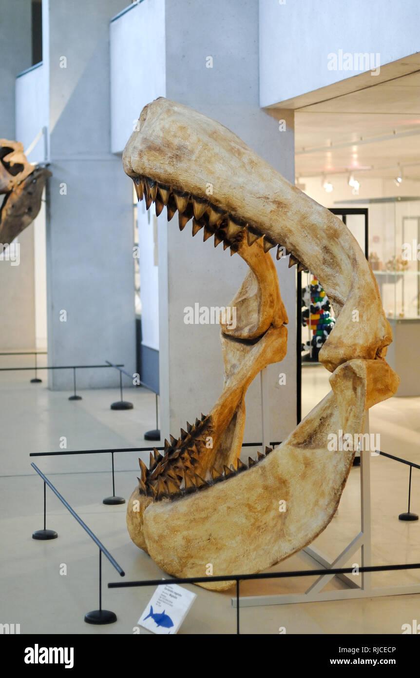 Ganasce e denti di Megalodon, Carcharocles megalodon, un gigante estinto Shark sul display al Musée de Préhistoire des Gorges du Verdon Quinson Francia Foto Stock