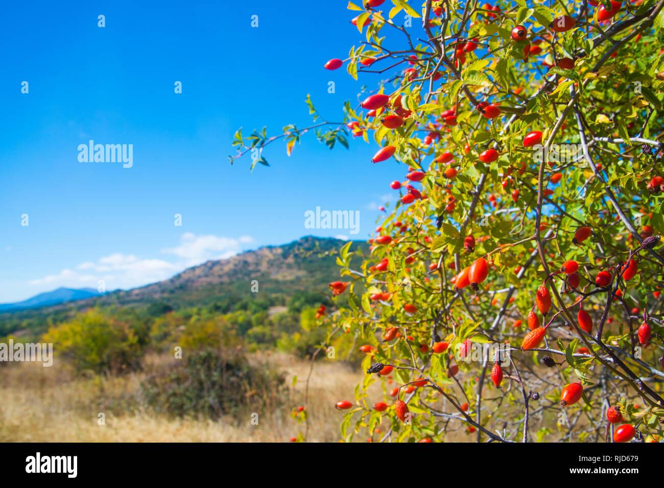 Wild Rose Bush e il paesaggio. Sierra del Rincon, provincia di Madrid, Spagna. Foto Stock
