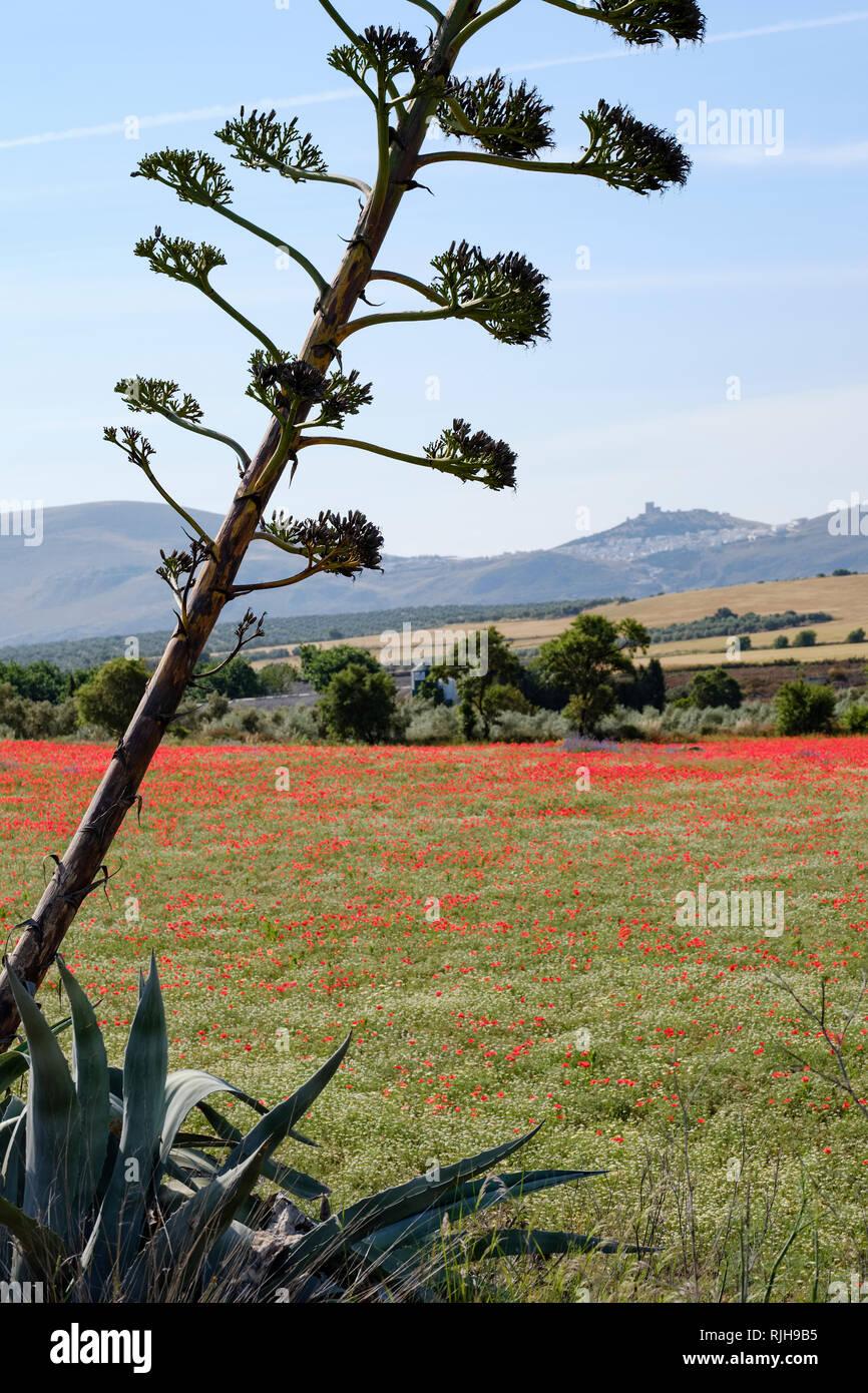 Papaveri rossi, Papaver rhoeas, e comuni Margherite, Bellis perennis con Teba castello in background. Immagini Stock