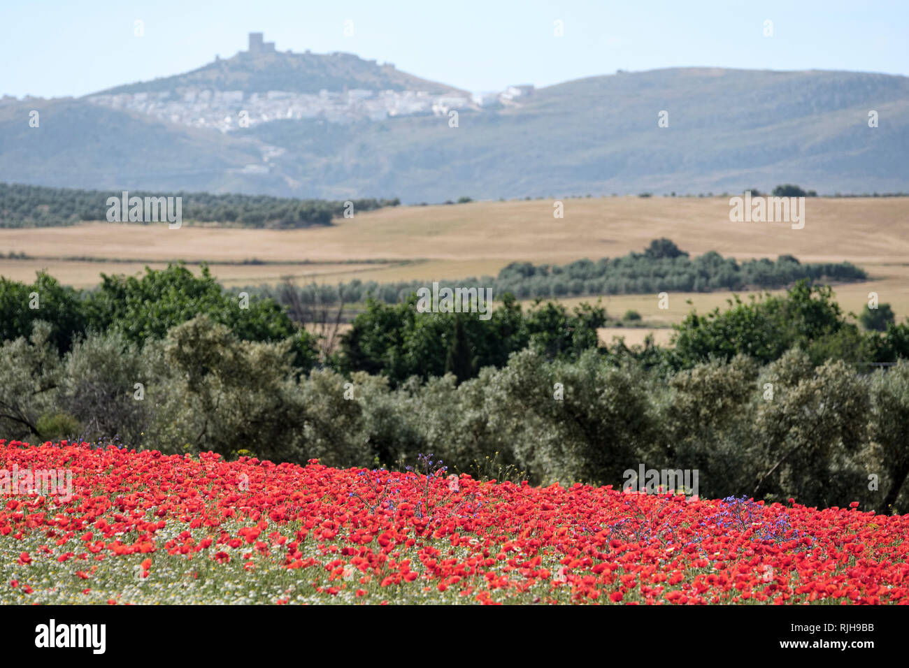 Papaveri rossi, Papaver rhoeas, e comuni Margherite, Bellis perennis in primo piano in un campo di ulivi. Il castello di Teba in background. Immagini Stock