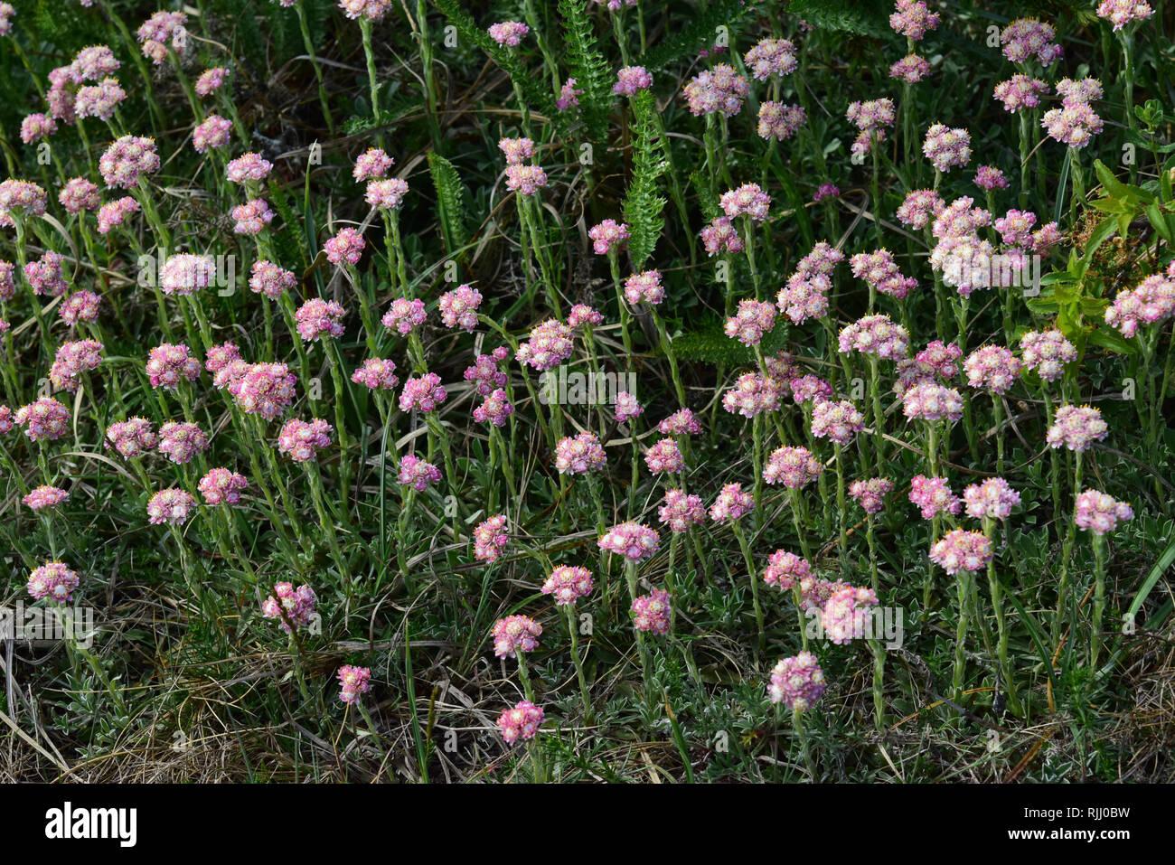 Gatti rossa Zampa-Antennaria dioeca