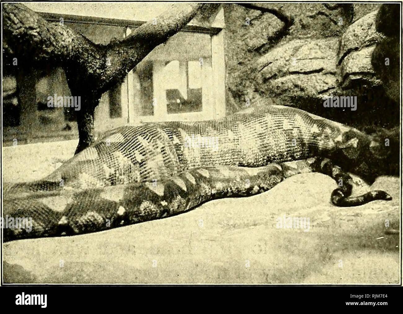 . Le bestie e gli uomini, essendo Carl Hagenbeck di esperienze per mezzo secolo tra animali selvatici;. Formazione animale; Menageries; zoologici; giardini zoologici. Rettili IN CATTIVITÀ 179 tratta- con grosse prede non ho alcun dubbio sul fatto che un full-cresciute Borneo python potrebbe facilmente inghiottire un uomo. Qualsiasi serpente di da diciotto a venti piedi lungo è abbastanza forte da schiacciare un uomo a morte se solo si può ottenere lui correttamente racchiuso nelle sue spire. Alcuni anni fa una polemica iniziata nel i giornali inglesi come a quale lunghezza serpenti potrebbe correre a. È stato affermato che vi erano tipi che ha raggiunto i trenta o quaranta piedi Immagini Stock