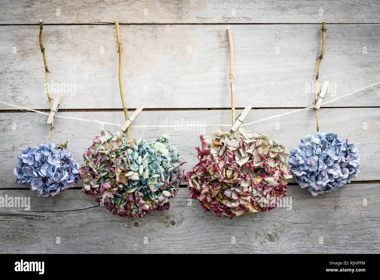 Fiori Di Ortensia Secchi secchi fiori di ortensie allegare ad una fune su uno sfondo