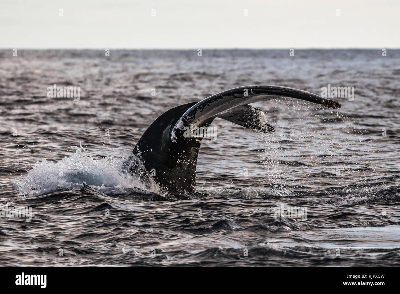 Humpback Whale trematodi adulti prima di deep dive Foto Stock