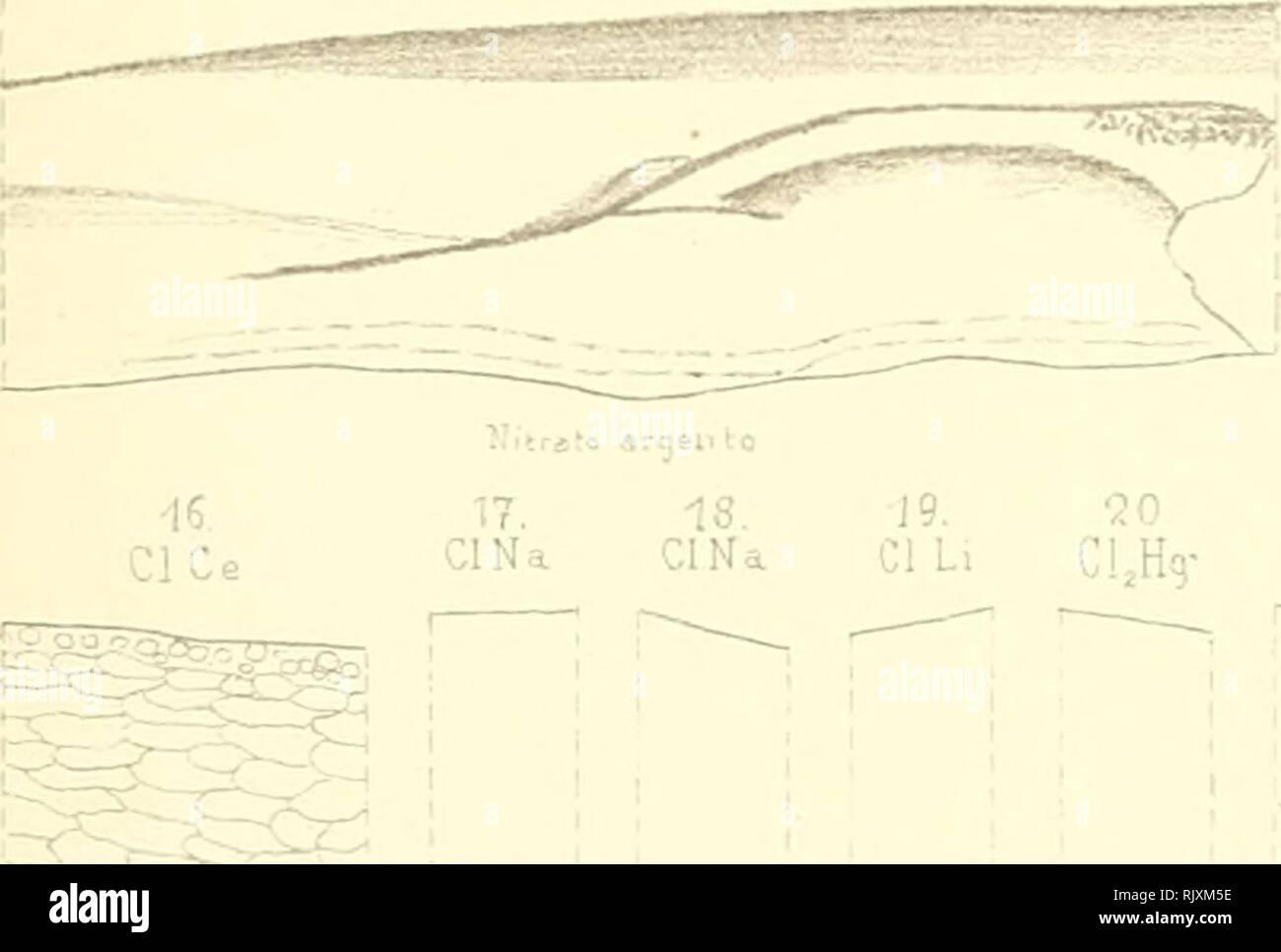 """. Atti. Piante; piante -- Italia; Cryptogamia; micologia. Arti cl(>ll Isl? Rorcinko Univ. di Povi.uVol.XI Tav.lX 1 2. 3. 4- 5 6 7. 8. 9. 10. Vò 14. 15. Cy.FeK C^.Fei; Cy.FeK, Cy.FeK, Cl^Hg Cl,Hg CI K K CI CI CI Ce Ce CU,.,.... ClNa ClNa '° ^%? ^xV ^$s PMNO;/ """" â PMNO,), ho/uo'uuit' o.iru """"g^a *Â""""Â""""oS -etrii'. ;Rj^ nm, -â' ^= AgNO, AqNO,. 19. ¢JO 21 CIL, C!,H9- CLHg .i.Â""""'j A,jNC, 12. AqNO, :1K 25. CIK 27. AoMO. g""""""""} AgNO, AqNO, 26. Un Aqh,-ho, 30. AqNO, AgNOj 23. V '''tór' L.Buscalioni canc. lil.Tacctiinardi jLperrarì.Pavii. Buscalionie Purgotti-Dissoc.e diffus.deijoni.. P Foto Stock"""