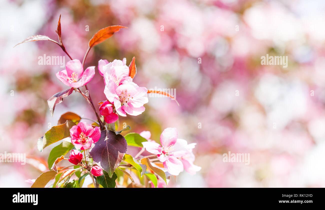 Primavera Sfondo Fiori Rosa Apple Ramo Dellalbero Bellissimo