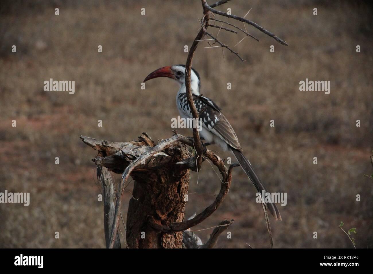 Northern Red-fatturati Hornbill (Tockus erythrorhynchus) nel Thornbush del parco nazionale orientale di Tsavo, Kenya Immagini Stock