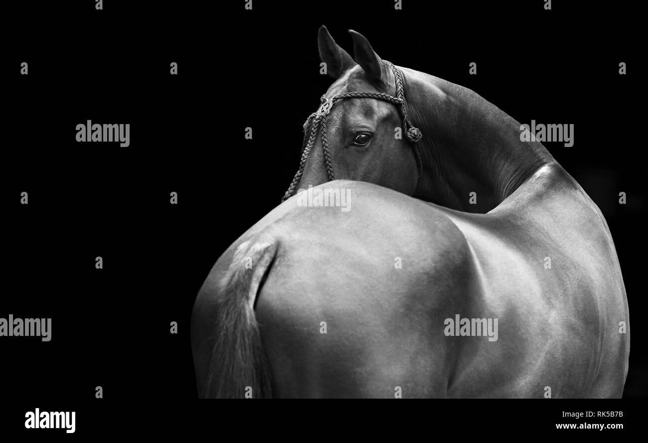 Cavallo nel polo halter guarda indietro isolati su sfondo nero. Orizzontale, dal retro, in bianco e nero. Immagini Stock
