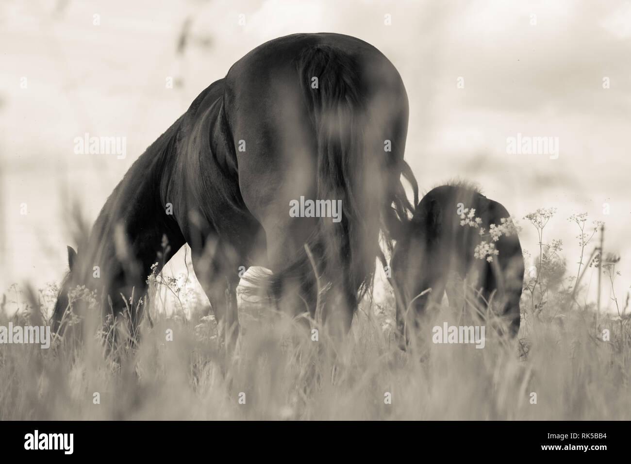 Groppa di un cavallo che è di pascolare nel campo. Orizzontale, in bianco e nero. Immagini Stock