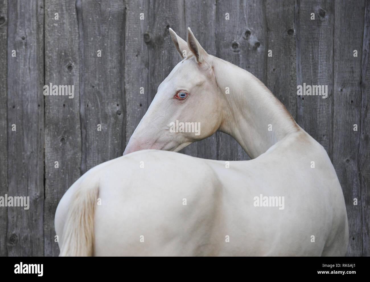 Cremello Akhal-Teke cavallo guardando indietro in piedi accanto al grigio parete in legno Immagini Stock