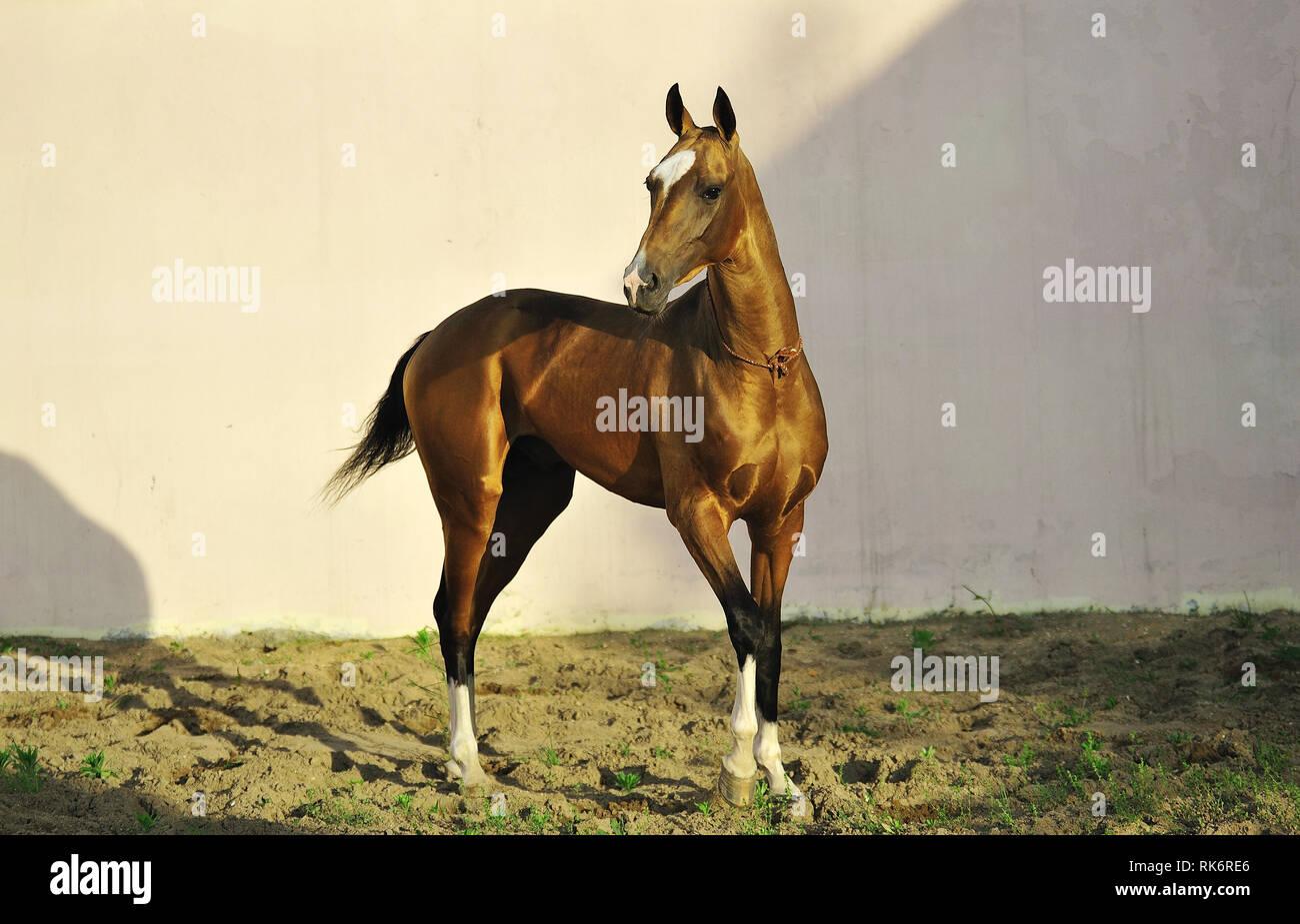 Golden Akhal-Teke stallone si erge nel mezzo del paddock guardando a sinistra. La foto in orizzontale, tre quarti,sfondo bianco. Immagini Stock
