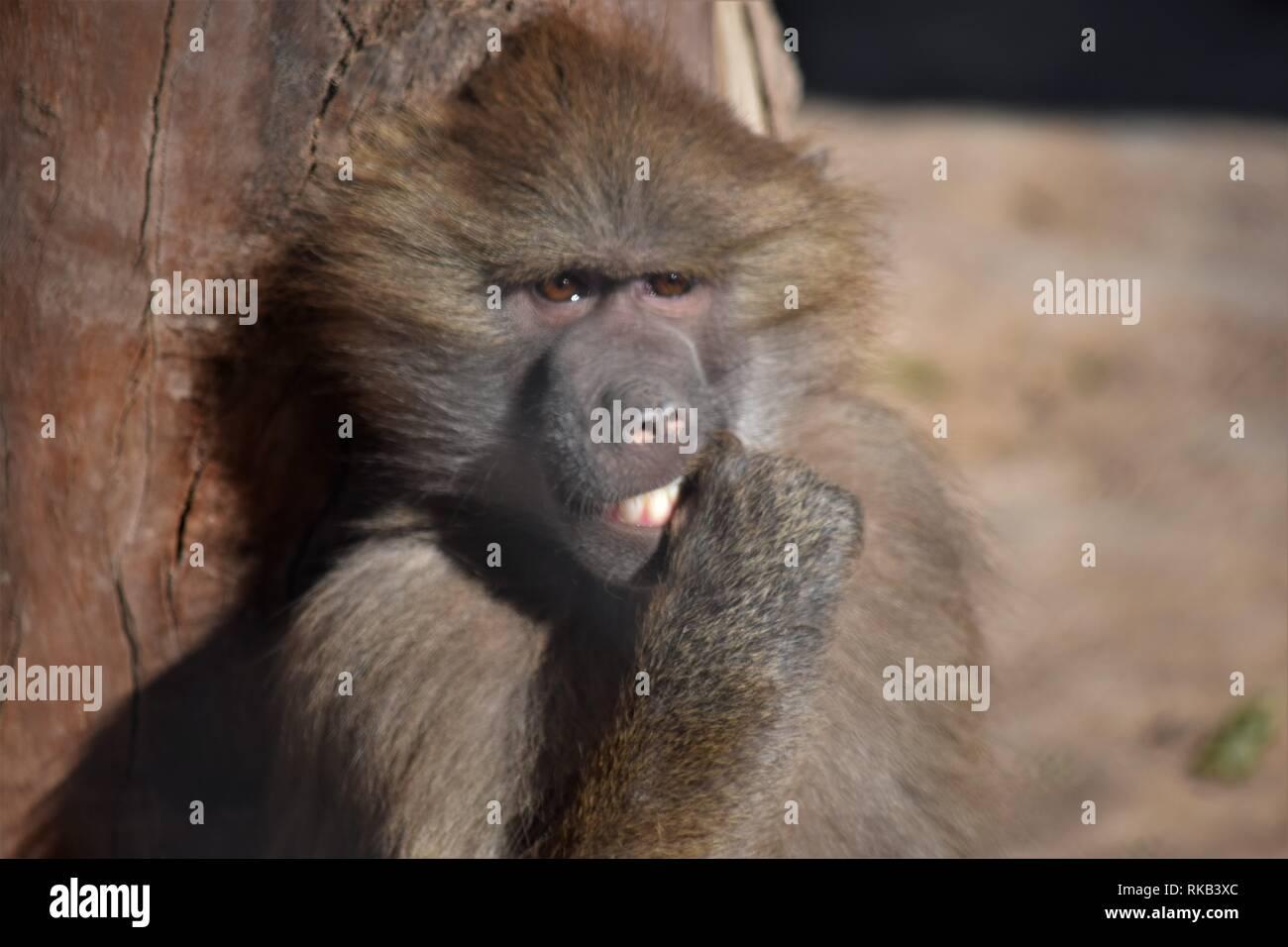Semplicemente uno dei migliori scimmie...mai Immagini Stock