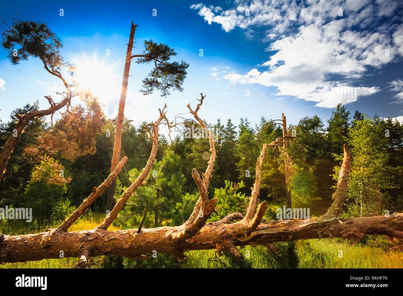 Manna nella foresta. Danni provocati dalla tempesta. Gli alberi caduti nella foresta di conifere dopo il forte vento uragano in Russia. Foto Stock
