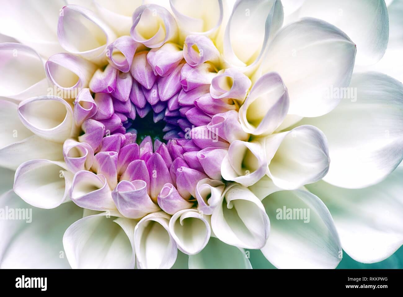 Bianco Fiore Dahlia. Abstract sfondi floreali. Immagini Stock