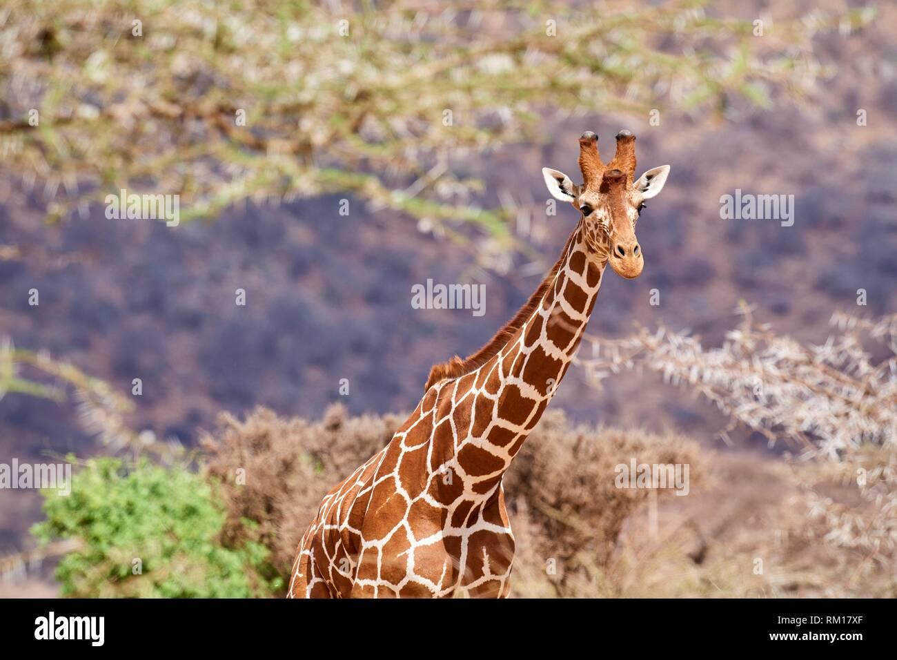 Giraffa reticolata {Giraffa camelopardalis reticulata} della testa e del collo, Samburu riserva nazionale, Kenya, Africa. Foto Stock