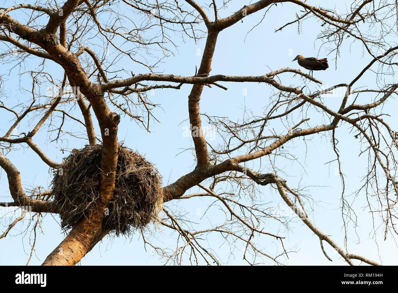 Hamerkop (Scopus umbretta) appollaiato sul ramo vicino al suo nido. Queen Elizabeth National Park, Uganda, Africa. Immagini Stock