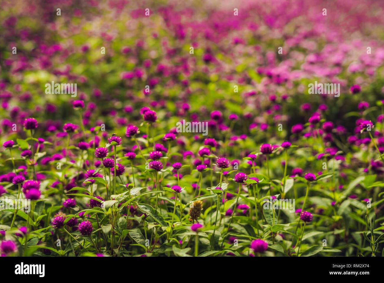 Gomphrena globosa o fuochi d'artificio Flower è una bella rosa piccolo fiore in giardino Immagini Stock
