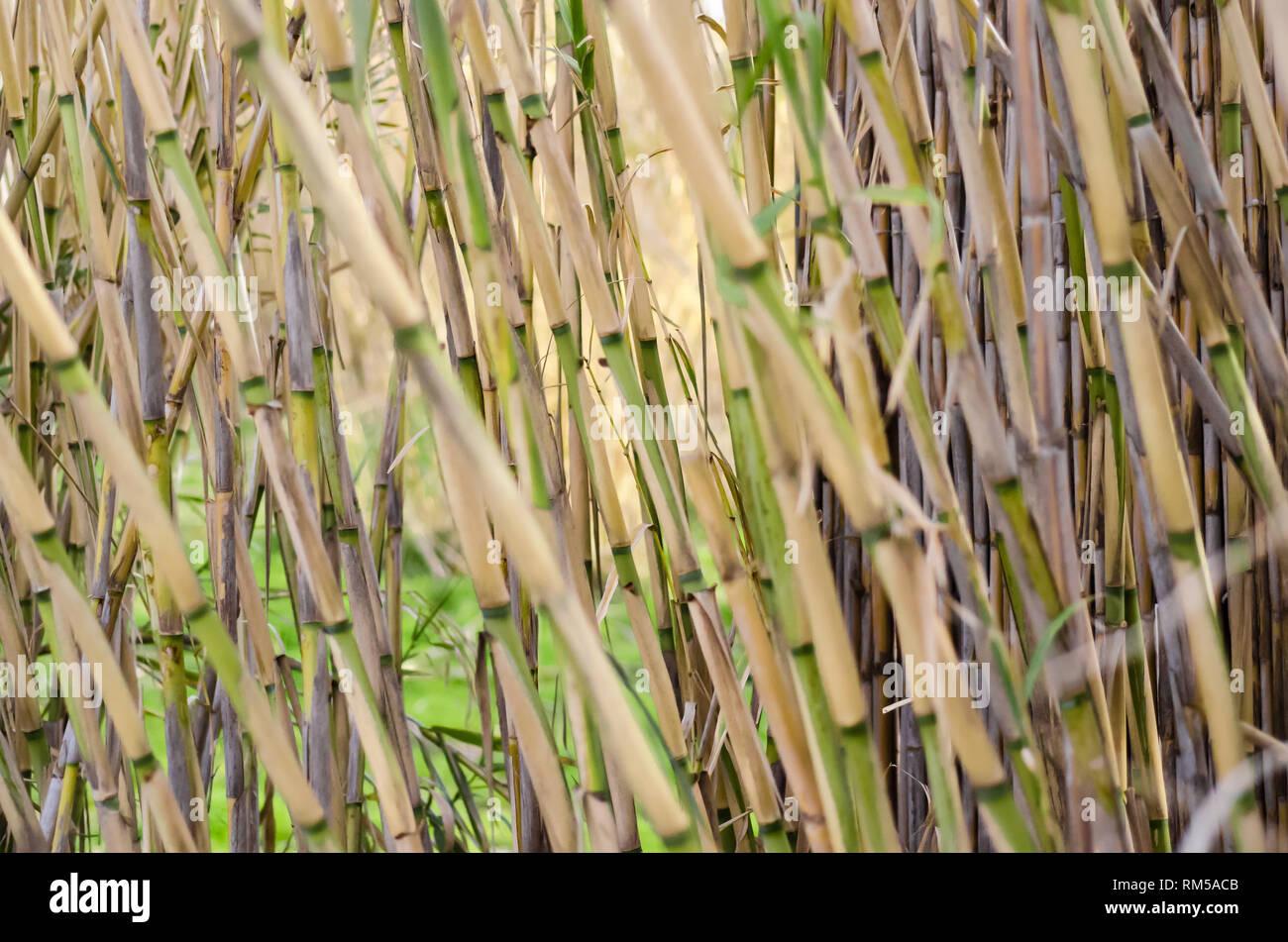 Sfondo della texture di bambù Immagini Stock
