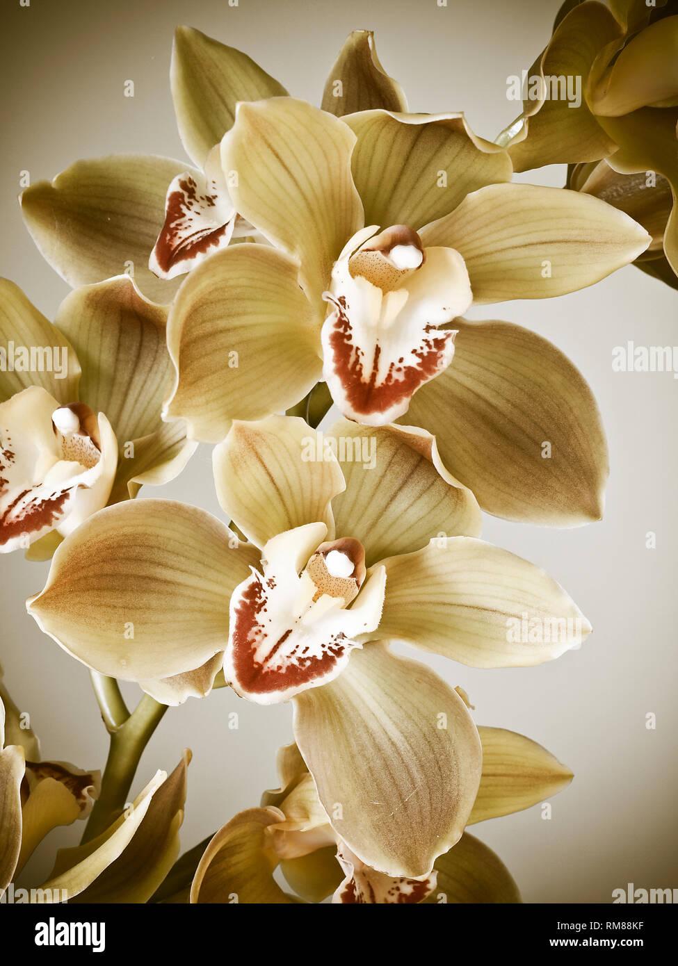 Freschi di fiori di cymbidium orchid Foto Stock