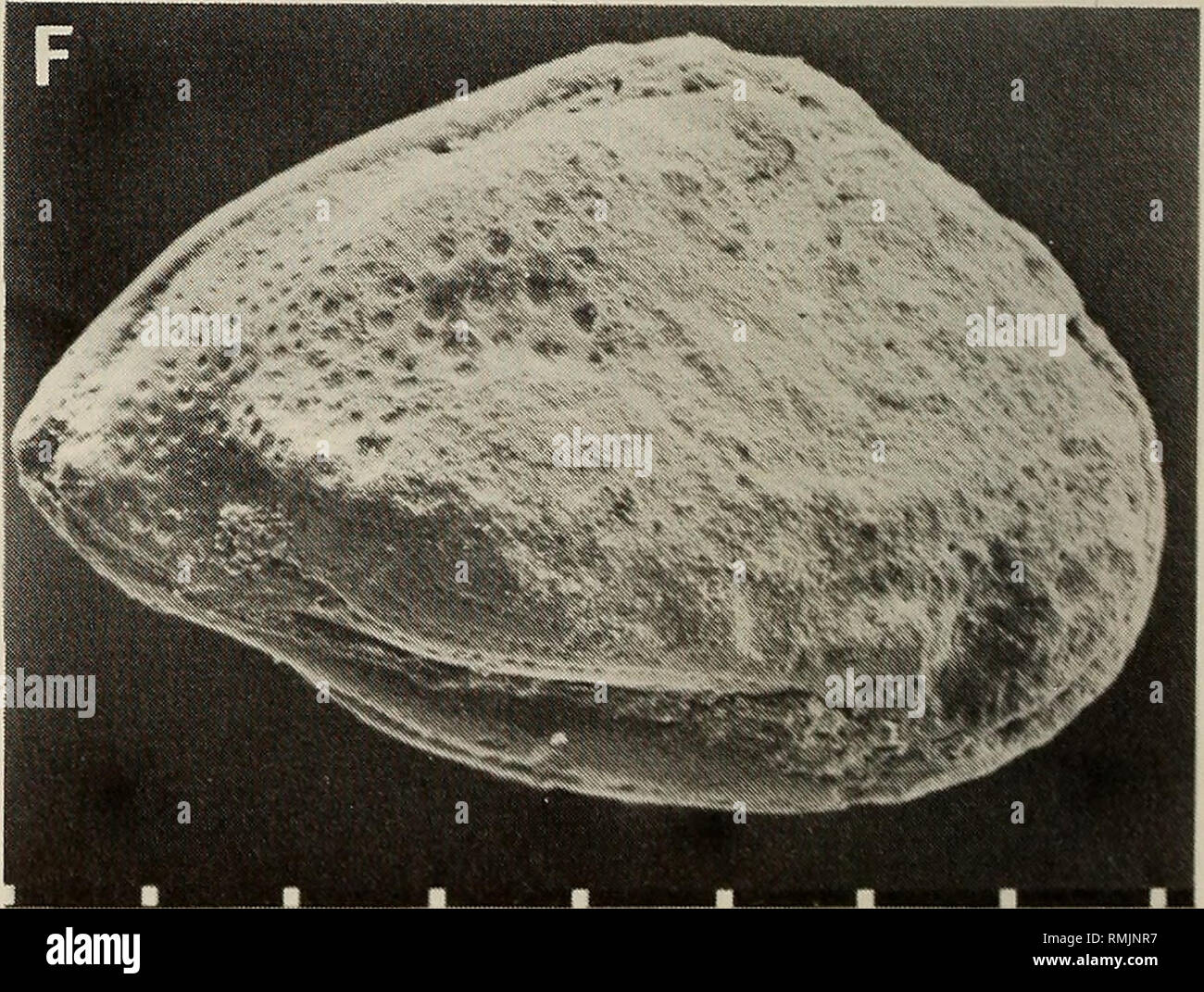 . Annali della South African Museum = Annale van die Suid-Afrikaanse museo. Storia naturale. Fig. 18. Brachycythere. A. B. agulhasensis, SAM-PC6522, holotype, MS, LV, TBD 510, Agulhas Bank, Alphard Formazione, Coniacian inferiore, SEM 1809. B. sicarius, SAM-PC6523, RV, Umzamba letto 3, Santonian III, SEM 2058. C. B. pondolandensis, SAM-PC6524, holotype, LV, Umzamba letto 1, Santonian II, SEM 2112. D. B. pondo- landensis, SAM-PC6525, RV, Umzamba letto 1, Santonian II, SEM 2115. E. B. rotunda, SAM-PC6526, holotype, LV, Umzamba letto 1, Santonian II, SEM 2092. F. B. rotunda, SAM-PC6527, RV, Umzamba ho letto Immagini Stock