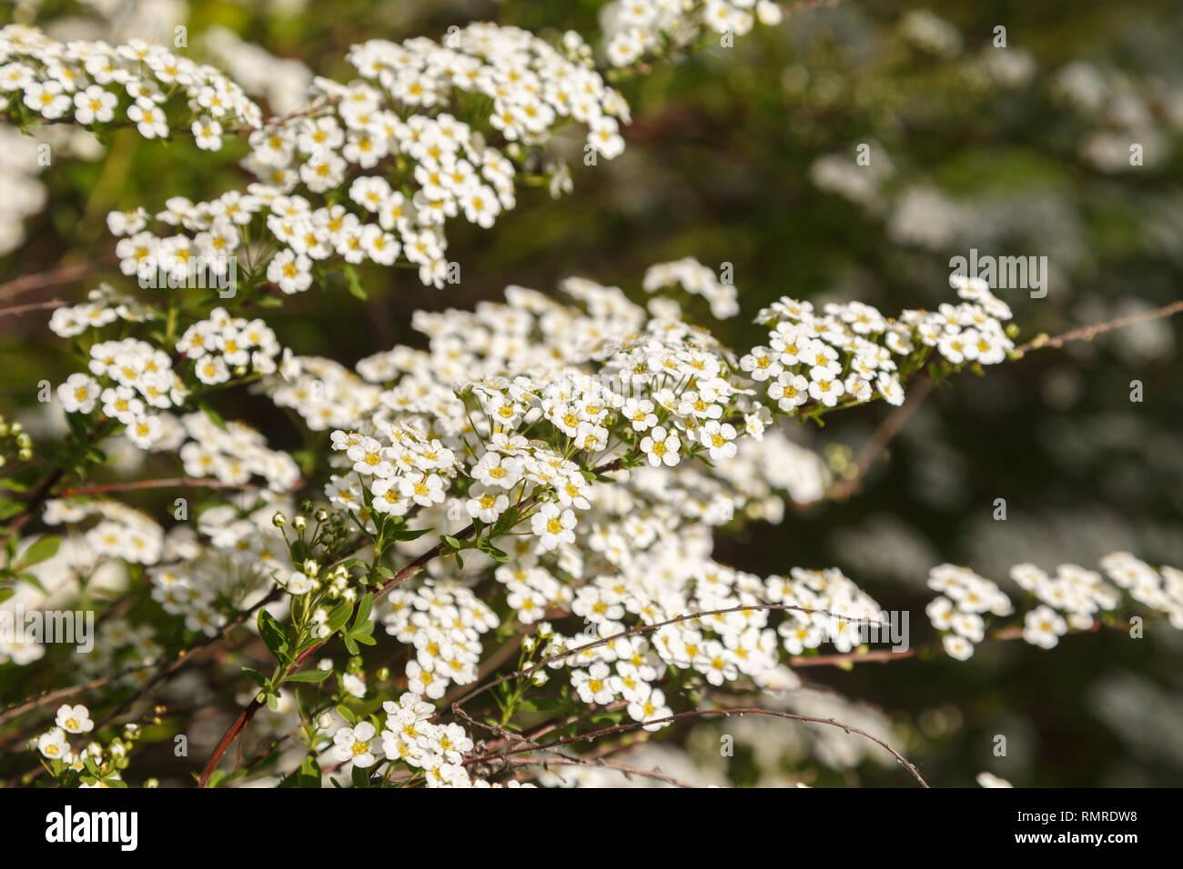 Fiori Bianchi Foto E Nomi.Bellissimi Fiori Di Primavera Fioritura Su Un Arbusto Spiraea