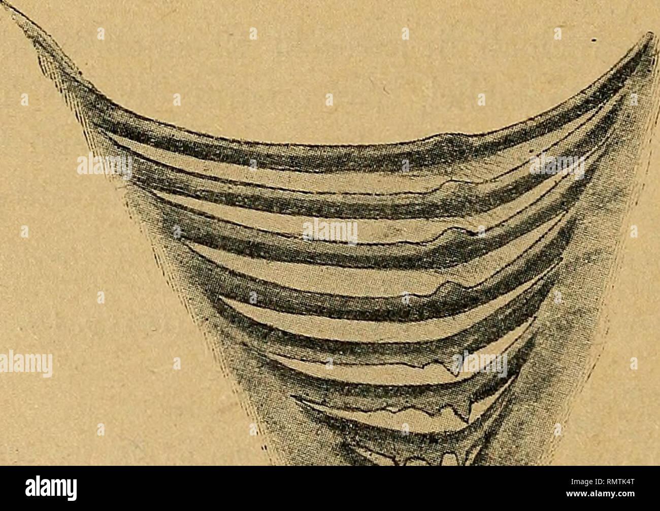 . Annali del Museo civico di Storia Naturale Giacomo Doria. Storia naturale. 274 D. VINCIGUERRA che neir'Echinorhinus e negli Hexanchus, Acanthias, Scyllium, Squalus e Chimera in cui erano già conosciute, anche nei generi Heptanchus, Scymnus, Spinace, Centrophorus, Centrino., Oxyrhina e Lamna, mentre le ho trovate assenti o tutt'al più appena accennate tendere Pristiurus, Alopecias, Galeus, Mustelus, Sphyrna e Squatina, constatando nelle razze sugli archi crusche- chiali la presenza di piccoli dentelli che non meritano però il nome di vere appendici. Non credo privo di intèresse riassumere il risult Immagini Stock