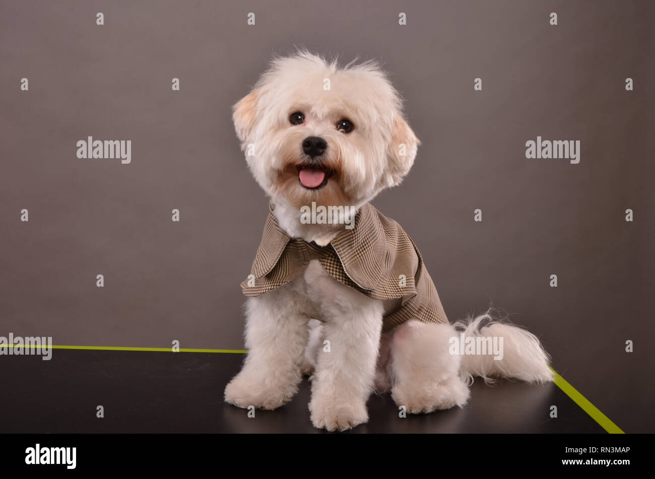 Maltese Portrait Immagini Maltese Portrait Fotos Stock Alamy