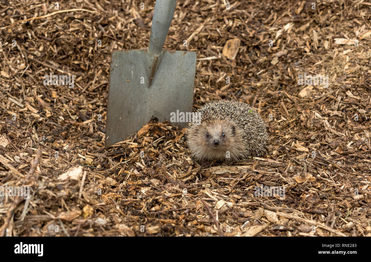 Pericoli Hedgehog. Wild, nativo, Europeo riccio (Erinaceus europaeus) nel giardino naturale habitat sul compostaggio e giardino vanga. Paesaggio Immagini Stock
