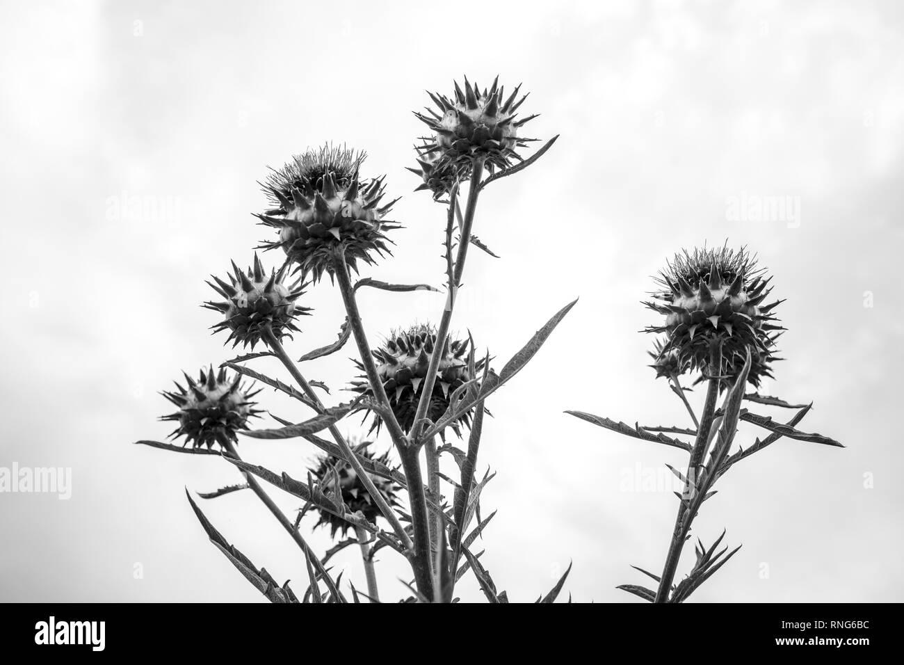 Fiore di carciofo visto dal di sotto - bianco e nero Immagini Stock