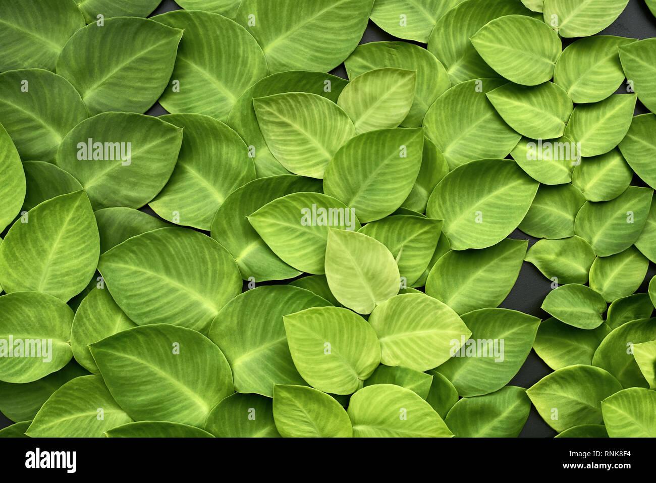 Textured verde delle foglie di piante di superriduttore sulla parete scura. Primo piano la foto in orizzontale. Immagini Stock