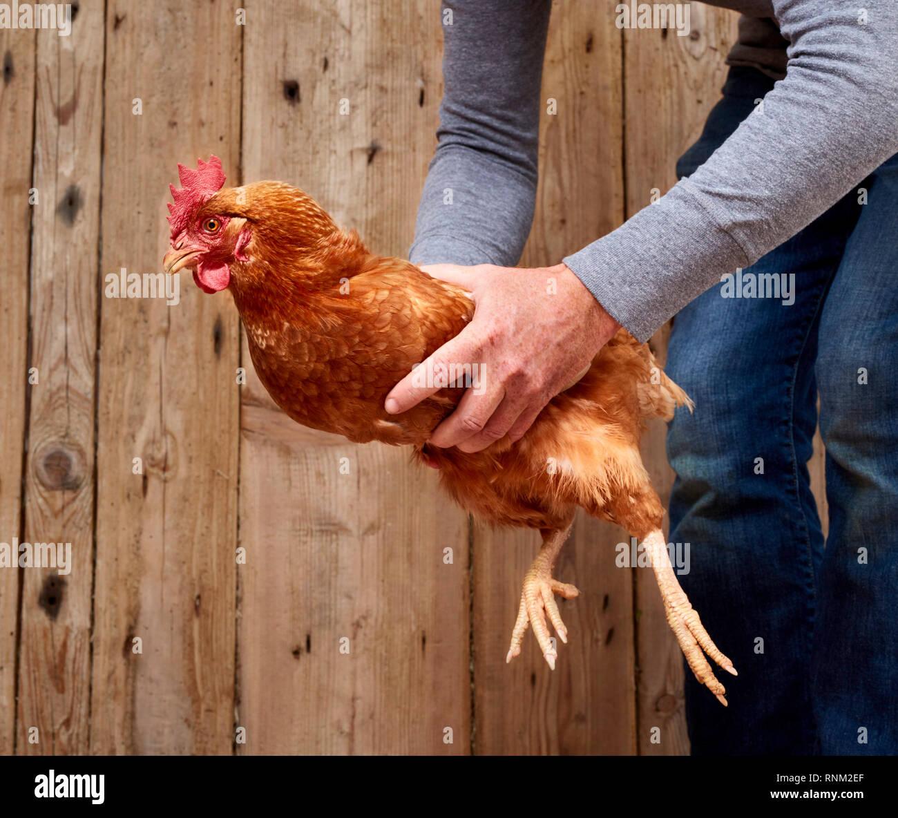 Pollo domestico. Uando si è innalzato con entrambe le mani. Germania Immagini Stock