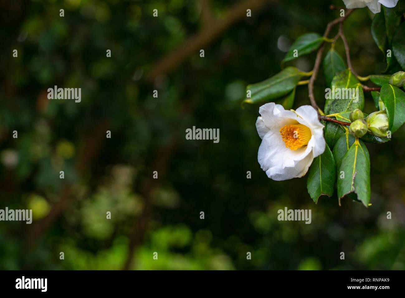 White camellia fiore sul ramo di albero Immagini Stock
