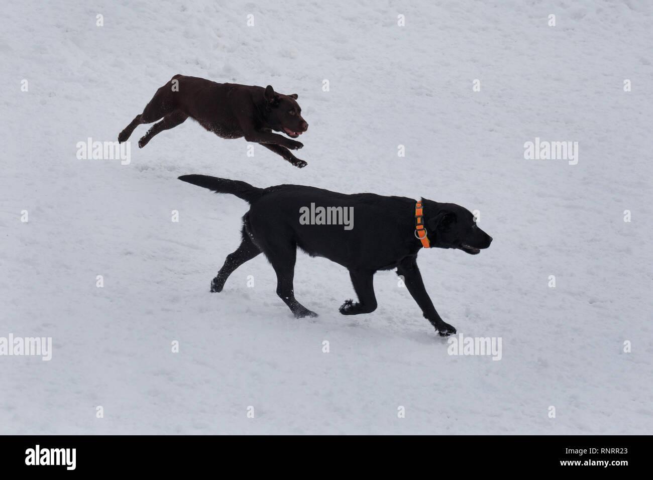 Il Nero E Il Cioccolato Gatti Sta Giocando Il Bianco Della Neve Gli