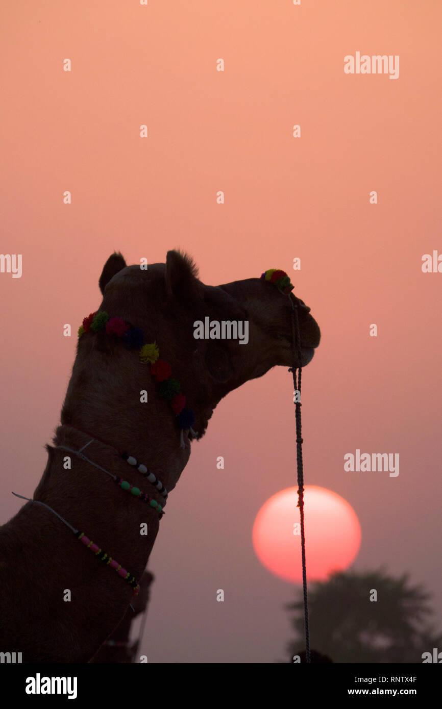 Cammello al tramonto nel Rajasthan, India Foto Stock