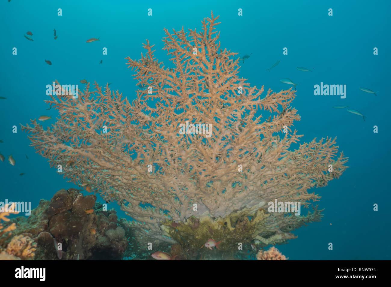 Le barriere coralline e le piante di acqua nel Mare Rosso, Eilat Israel Immagini Stock