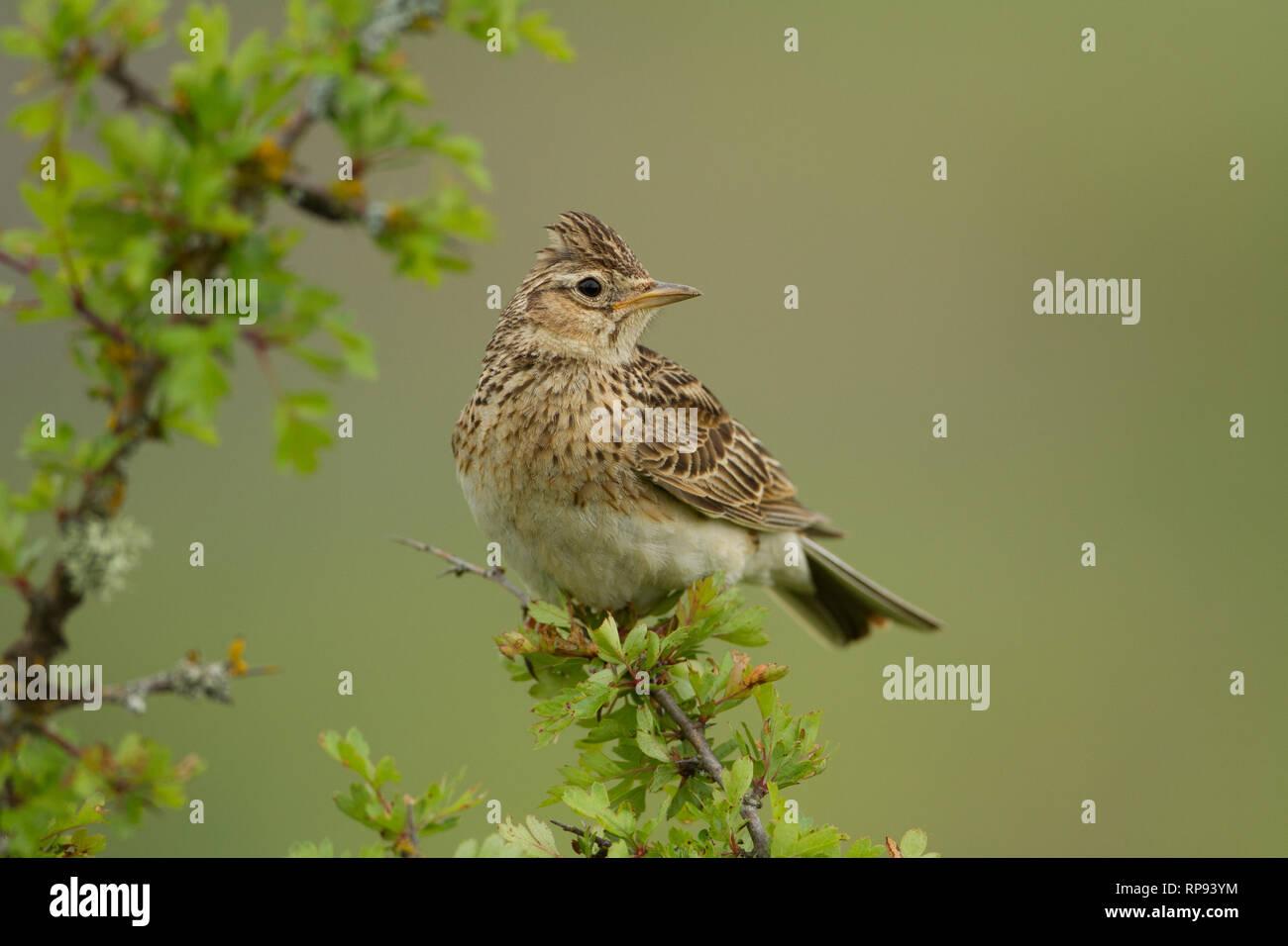 Allodola Alauda (arvense) canta dal pesce persico (Burgos) Spagna Immagini  Stock 763c1b04e74e