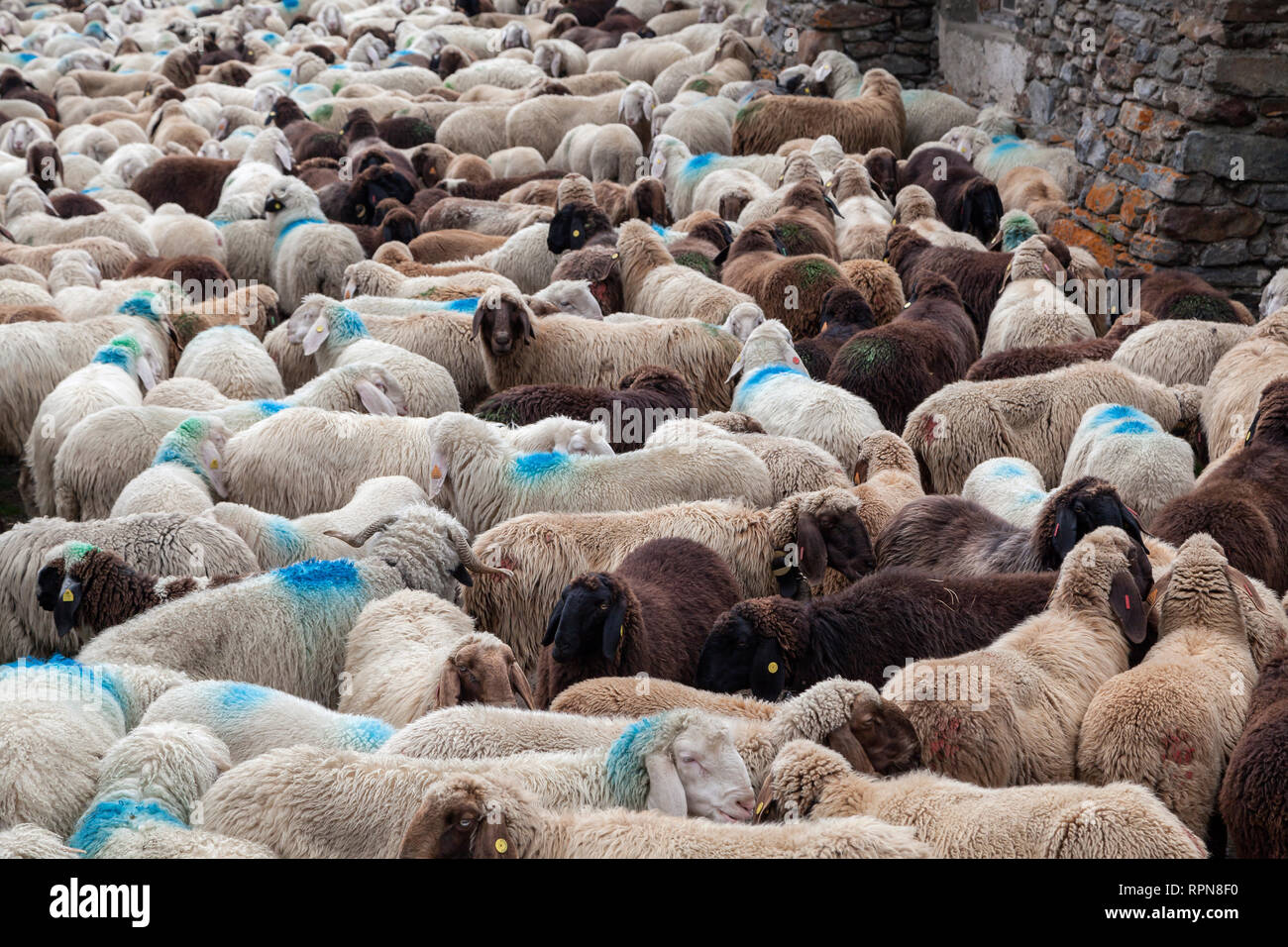Zoologia / animali, mammifero / di mammifero, il movimento verso il basso di Val Schlandraun, cattle drive della Laaser s, Additional-Rights-Clearance-Info-Not-Available Immagini Stock