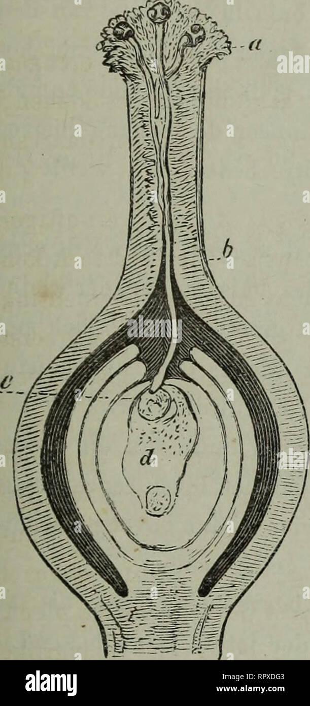 . Album der Natuur. HET GEiSLACJIT.SLKVEX DEK PLANTEN. 37 Montare^-. 1. bewijs kunnen vinden in de g'cschiedenis der Aucula japonica thunb , waarvan de vrouwelijke impianto, canne sedert 1783 in Europa ingevoerd en allerwegen gekweekt, eerstin 1864 vruch- dieci heeft gedragen , nadat nel 1863 ook de impianto mannelijke uit il Giappone era aangebragt. De vraag rijst nu , hoe die zoogenaamde bestuiving in de natuur gewaarborgd è , bij het groote verschil in maaksel en vorm van de onderscheiden bloemen. Deze vraag heeft, Porta de nasporingen der laatste jaren , bij- zonder de aandacht getrokken. Alvorens tot lepre b Immagini Stock
