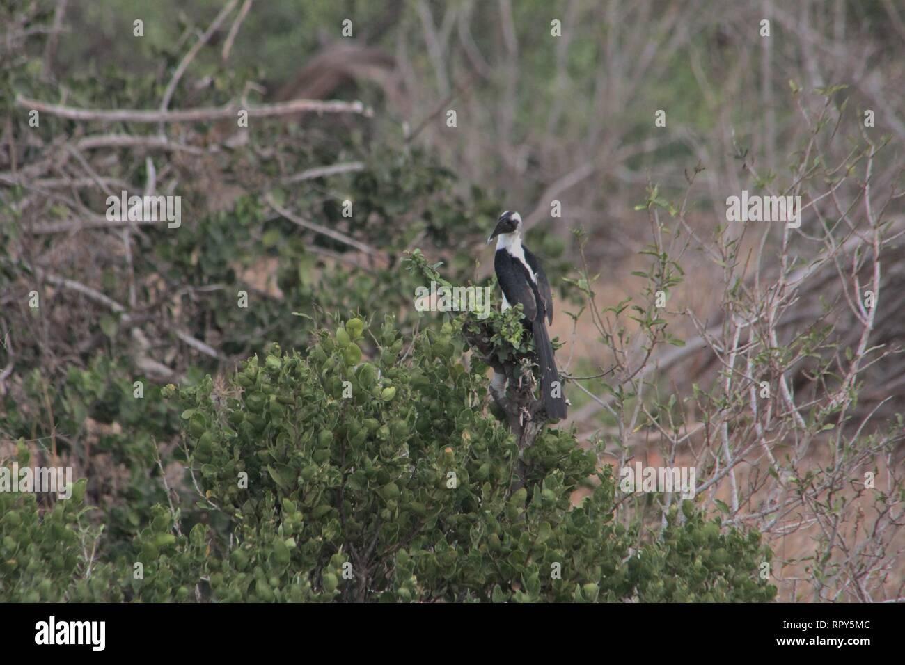 Di von der Decken-'s Hornbill (Tockus deckeni), parco nazionale orientale di Tsavo, Kenya Immagini Stock