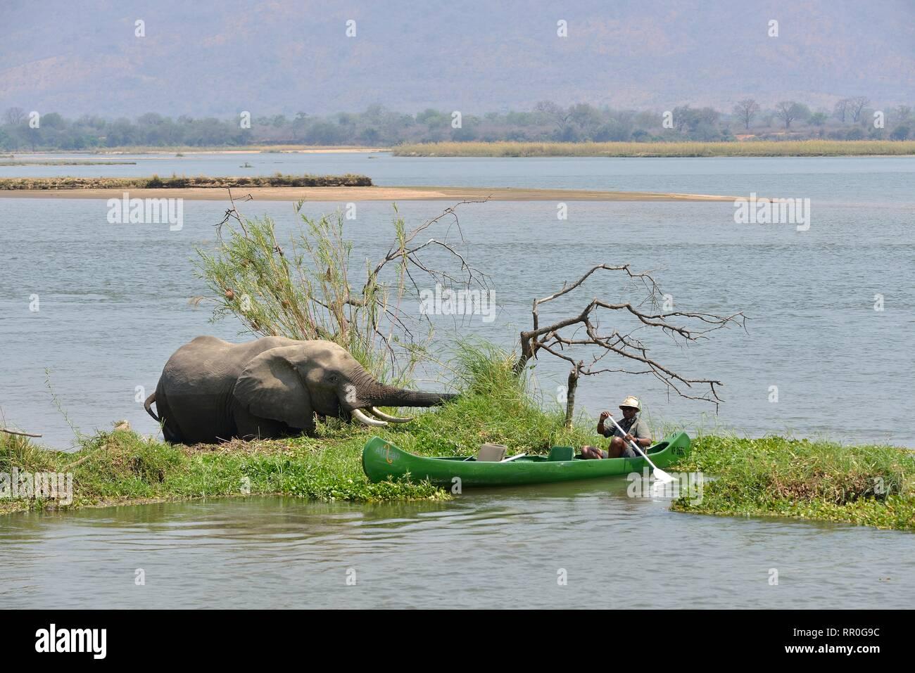 Zoologia, mammifero (mammalia), la guida si avvicina a se stessi lo Zambesi con la canoa un elefante (Loxodon, Additional-Rights-Clearance-Info-Not-Available Immagini Stock