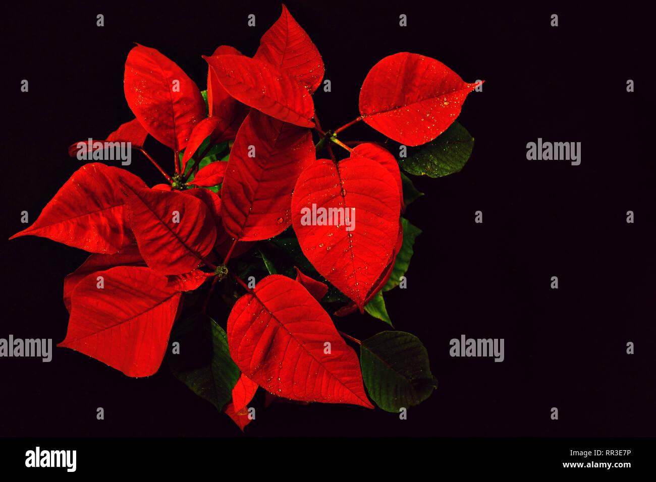 Vista Superiore Del Fiore Rosso Stella Di Natale Su Sfondo Nero Foto