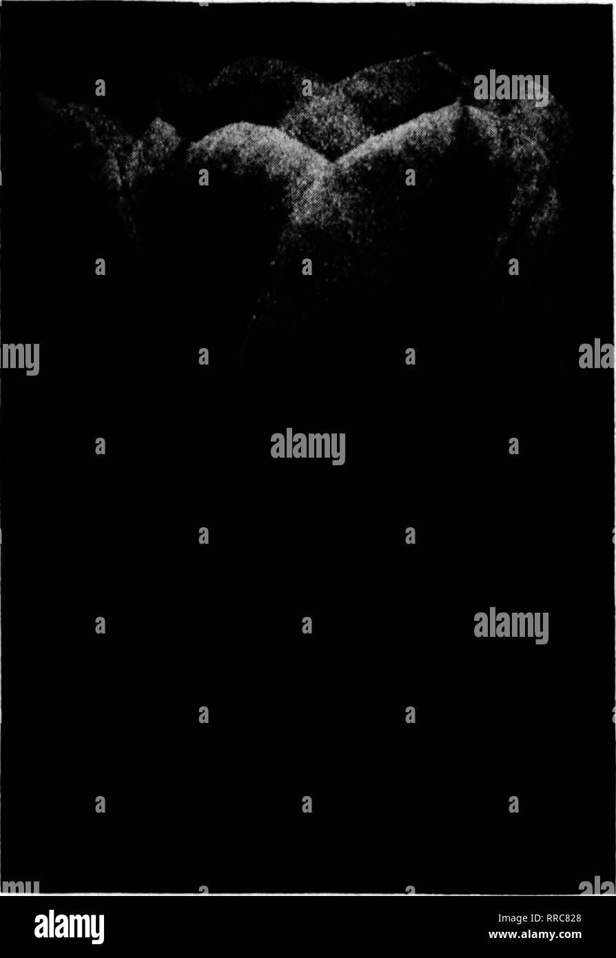 . Fioristi' review [microformati]. Floricoltura. OCTOBEU 20, 1921 l'Rorists* Rcviev 19 sede della lampadina. Primo singolo dimensioni denominato giacinti Amy, luminoso carmine. | arand Maltre, luminosa porcellana. Cliaa. Dickens Bine, porcellana. Xln^ di Bines, blu profondo. Lo Zar Feter, porcellana. Irfi Oraudease, Snow White. Olgrantea, carne plnlc. | Bol des Belffes, rosso profondo. Prezzo di sopra, $7.60 per 100; 867.50 per 1000. Singolo secondo dimensioni denominato giacinti città di Haarlem, giallo oro. Lo Zar Feter, porcellana blu. Oertmde, rosa luminoso. Gisrantea, rosa carne. Orand Maltre, luminosa porcellana. Kingr di Bines, profondo blu Immagini Stock