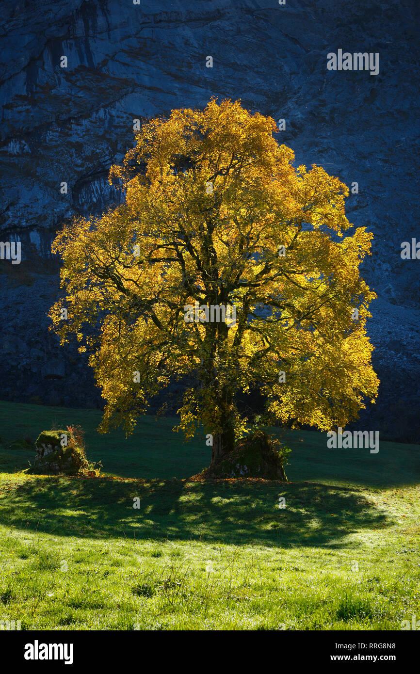 La botanica, celtica acero Acer pseudoplatanus, Svizzera, Additional-Rights-Clearance-Info-Not-Available Foto Stock