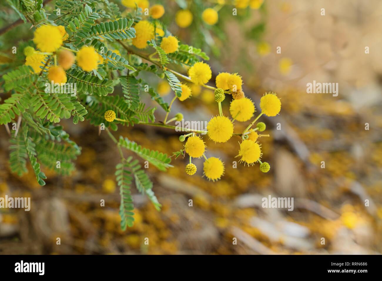 Rametto di carni soffici mimosa su sfondo bianco. FED959 (RF). Chiudere il ramo  di mimosa albero nella luce del sole 2ec0fdea8b92