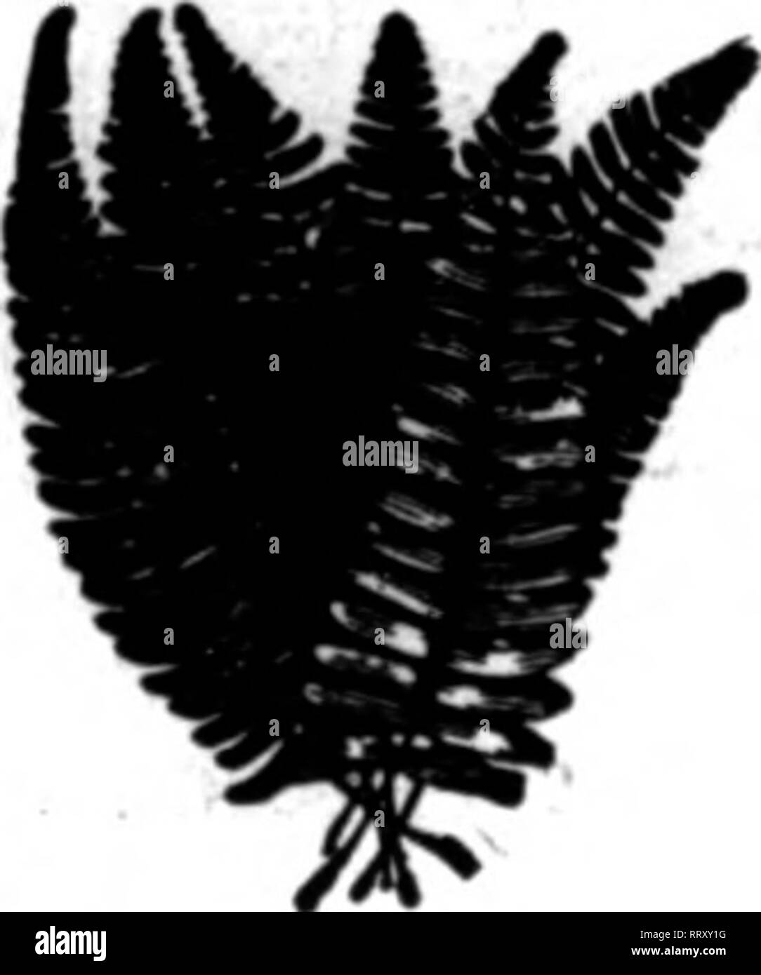 """. Fioristi' review [microformati]. Floricoltura. Commercio all'ingrosso SOLO GALAX, felci e LEUCOTHOE Richiedi Listino Prezzi QEOROB W. CALDWELL, boscaiolo l uomo che grotta è il Wild Stnllax sud selvaggio SMILAX v; ln quantitativi illimitati, ventiquattro ore di preavviso. Prezzo, $2.50 per caso RACCOLTI A MANO E FOGLIE DI MAGNOLIA $8,00 par caaa. Fiorista SPECIALE HOLLY $230 par caaa. Scrivere, filo o telefono CALDWELL BOSCAIOLO CO. ??Arytblnc In Southarn STarKraana """"V""""RGRKmf, ALA. Sputhern Wild Smilax scrivere o filo CHAHAHOOCHEE ELORAL CO., HaUher StaUoi,Ga. Bannara Elk, la Carolina del Nord Evergreen Co. Indirizzo commanlcat aU Foto Stock"""