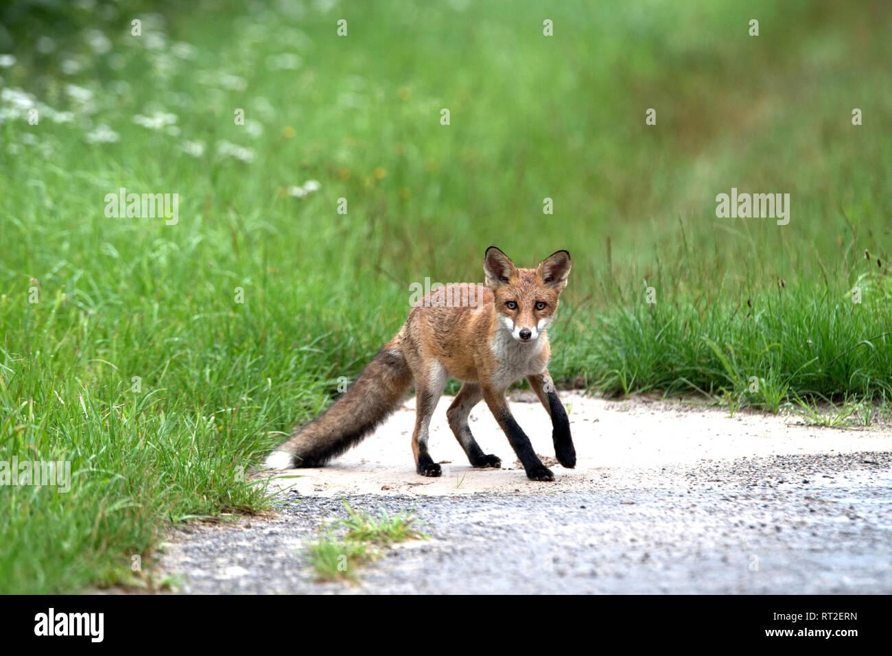 Europeo, Fox Fox, Fox in aprile, fox cuccioli, volpi, doggy, Jung fox, di Jung fox in vicinanza di costruzione, di Jung volpi, astuti fox, predator, pur Immagini Stock