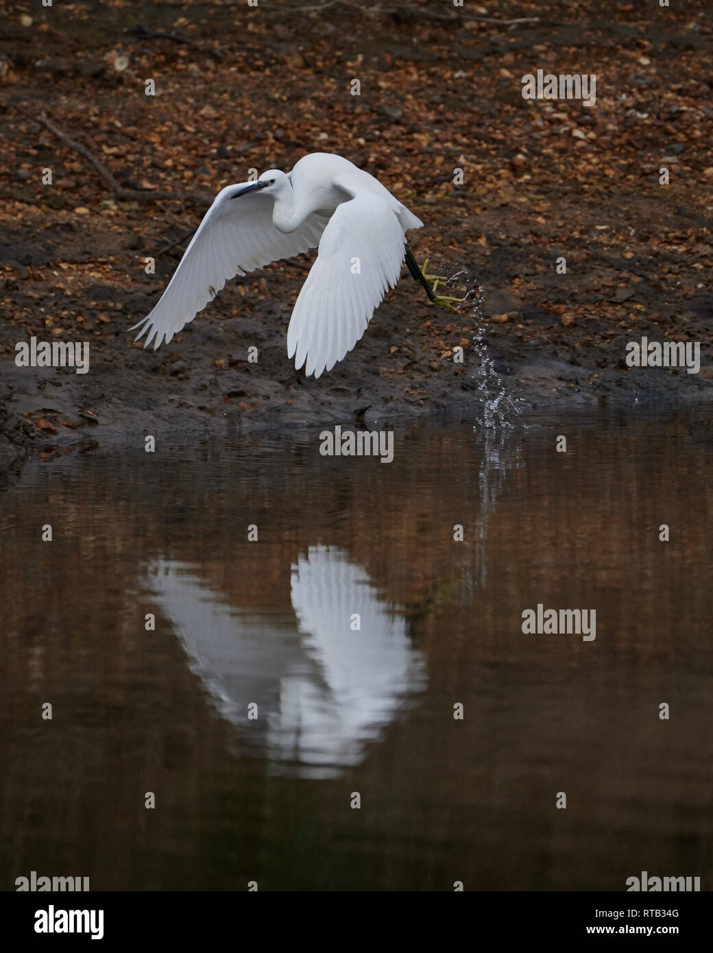 Il paziente Garzetta, in volo e specchio riflessa durante la pesca estuario. Un simbolo di forza e purezza. Immagini Stock