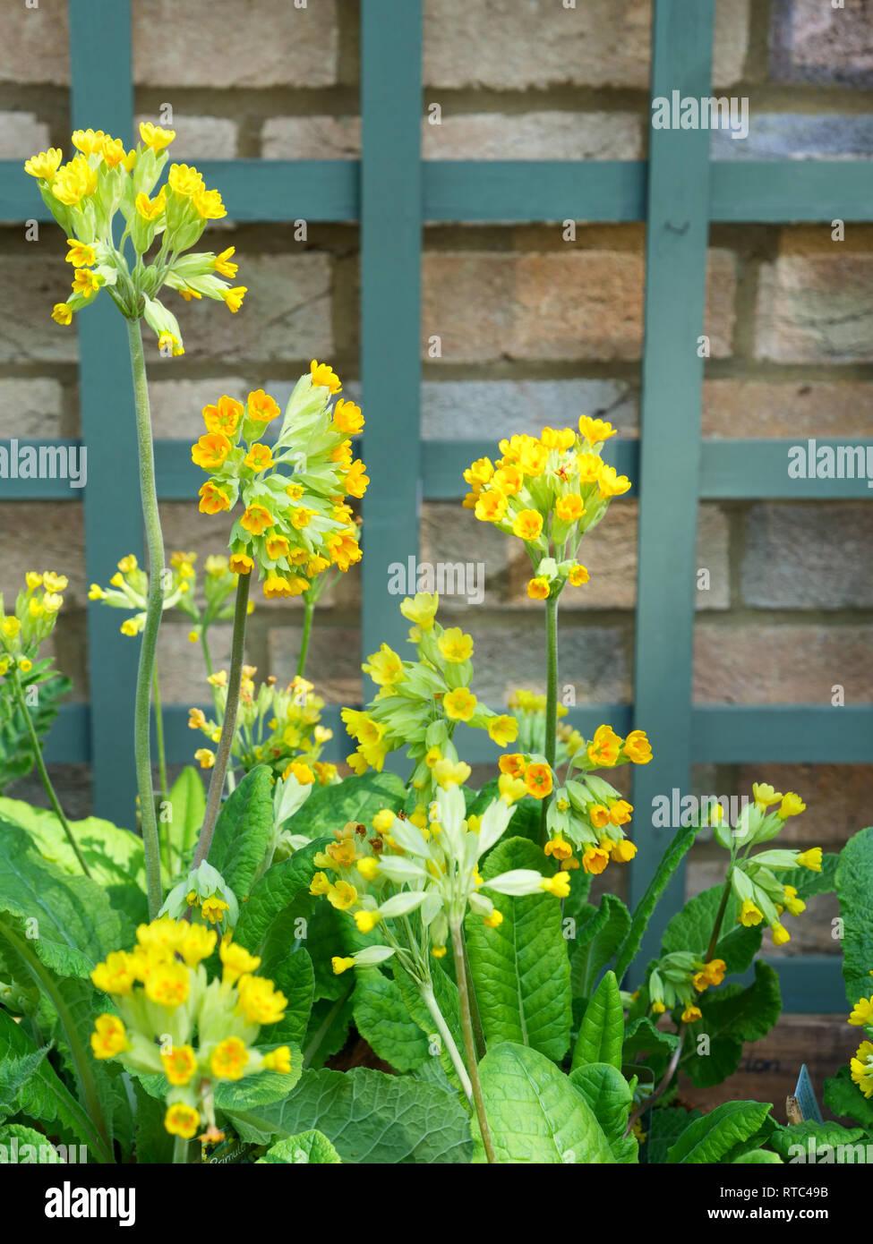 Pianta Dai Fiori Gialli.Tall Yellow Flowers Immagini Tall Yellow Flowers Fotos Stock Alamy