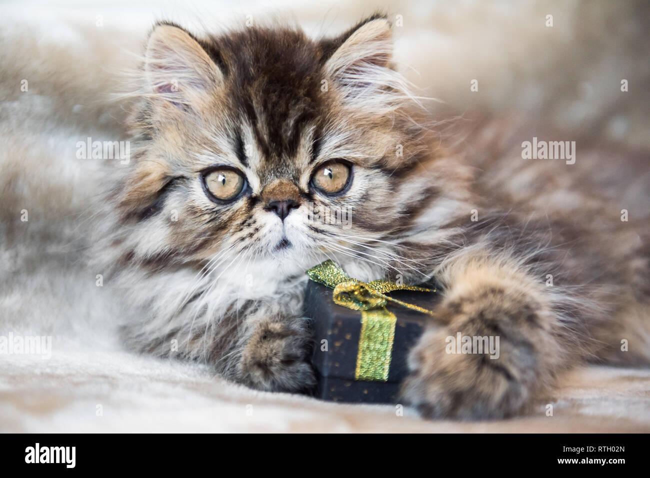 Bellissimo Gattino Persiano Gatto Con Confezione Regalo O Presente