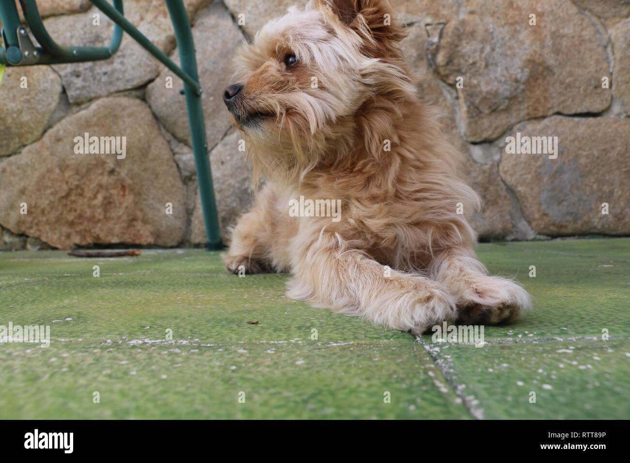 Portrait Of Brown Poodle Immagini Portrait Of Brown Poodle Fotos